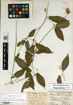 Image of Cobaea skutchii
