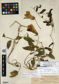 Image of Cobaea pachysepala