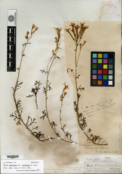 Image of Gilia bridgesii