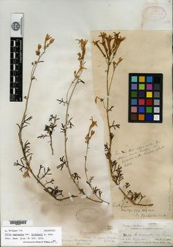 Image of Gilia bridgesii