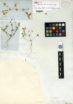 Gilia aurea image