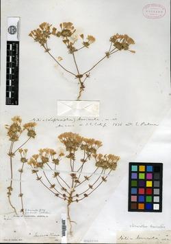 Image of Gilia brevicula