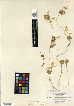 Image of Leptosiphon croceus