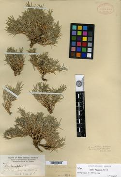 Image of Phlox dasyphylla