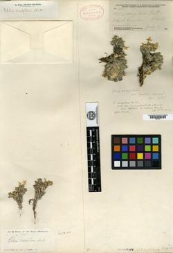 Phlox covillei image