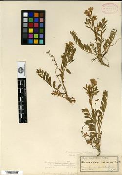 Image of Polemonium calycinum