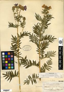 Image of Polemonium grande