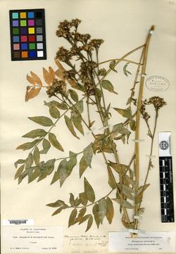 Image of Polemonium helleri