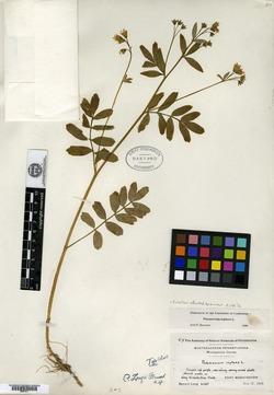Image of Polemonium longii