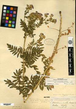 Image of Polemonium molle