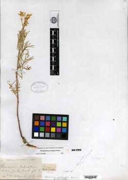 Polemonium pectinatum image