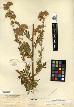 Image of Polemonium robustum