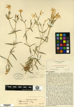 Image of Phlox longituba