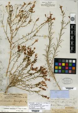 Image of Ipomopsis tenuifolia