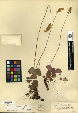 Image of Heuchera cusickii