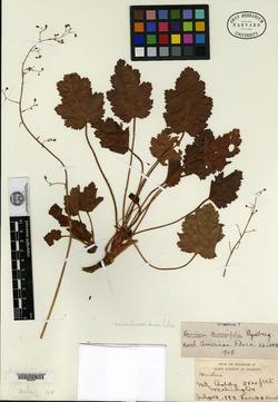 Image of Heuchera diversifolia