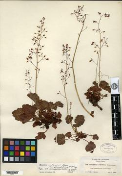 Image of Heuchera lithophila