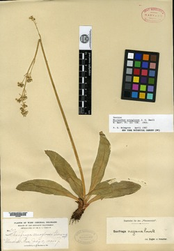 Image of Micranthes arnoglossa