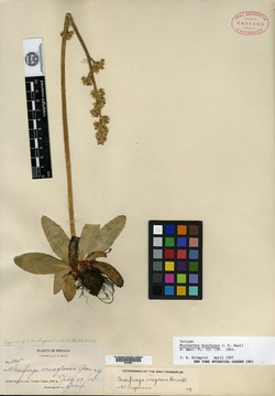 Image of Micranthes brachypus