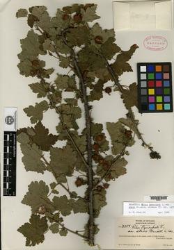 Ribes cynosbati var. atrox image