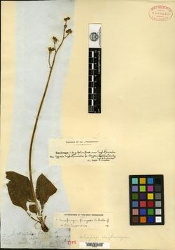 Image of Saxifraga claytoniifolia