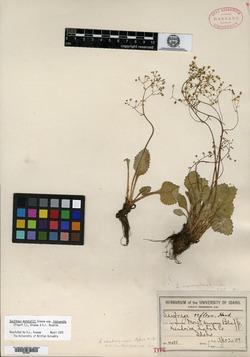 Image of Saxifraga idahoensis