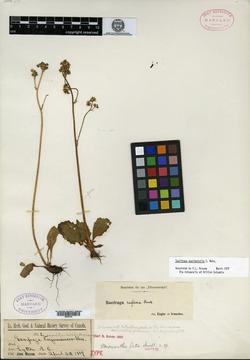 Image of Micranthes saximontana