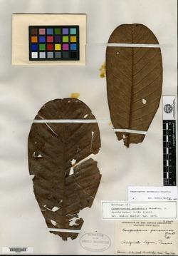 Image of Campnosperma panamensis