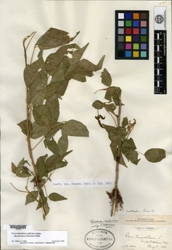 Image of Toxicodendron laetevirens