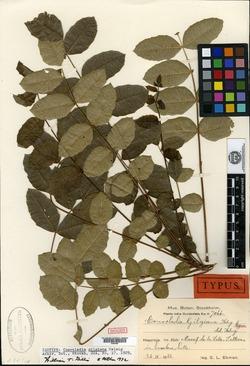 Image of Comocladia gilgiana