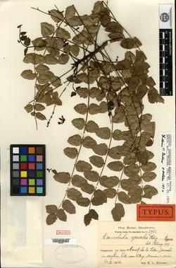 Image of Comocladia gracilis