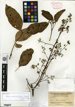 Mauria membranifolia image