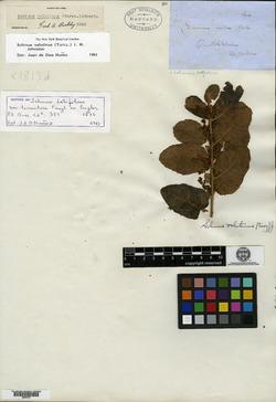 Schinus latifolius image
