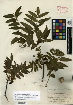 Image of Cyrtocarpa procera
