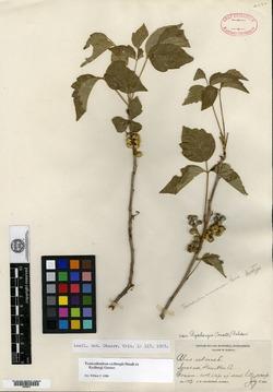 Image of Searsia natalensis