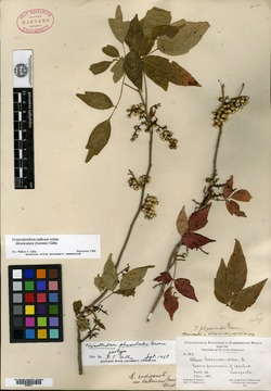 Image of Toxicodendron phaseoloides