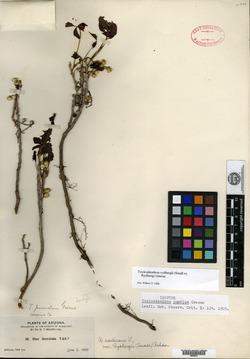 Image of Toxicodendron pumilum