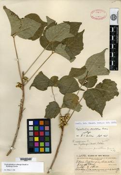 Image of Toxicodendron punctatum