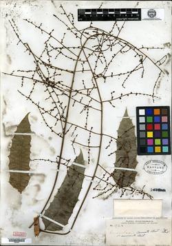 Image of Comocladia cuneata