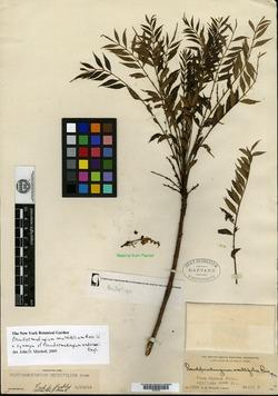 Image of Pseudosmodingium multifolium