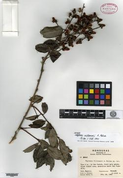 Image of Celastrus vulcanicola