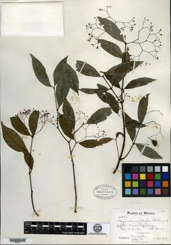 Image of Crossopetalum oxyphyllum