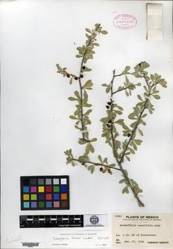 Image of Schaefferia shrevei