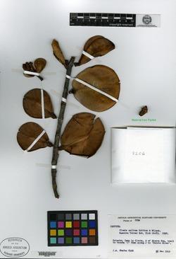 Image of Clusia callosa