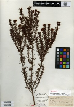 Image of Hypericum arborescens