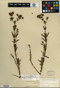 Image of Hypericum bissellii