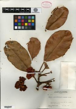 Image of Clusia longipetiolata