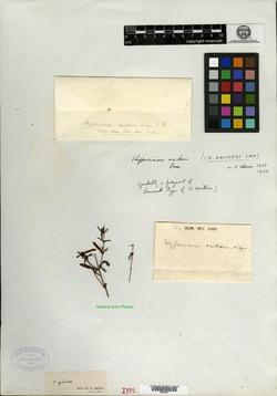 Image of Hypericum axillare