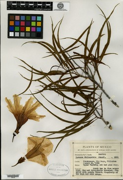 Image of Ipomoea chilopsidis