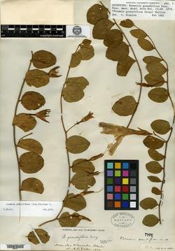 Image of Breweriopsis elegans
